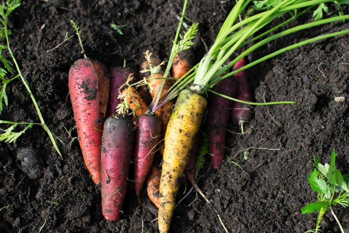 carrots-0481